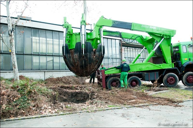 Verladen des ausgegrabenen Baumes